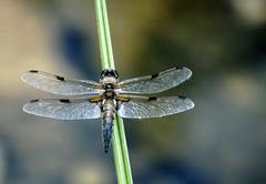 Dragonfly sitting on a blade of grass Stock Photos