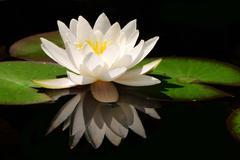 White lotus flower Stock Photos
