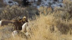 Bighorns in Winter Sunlight Stock Footage