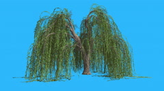 Stock Video Footage of Weeping Willow Hanging Long Branches Tree is Swaying at The Wind Green Tree