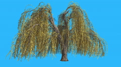 Stock Video Footage of Weeping Willow Hanging Long Branches Tree is Swaying at The Wind Yellow Tree
