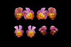 Pansy flowers closeup - stock photo