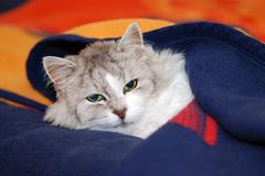 Persian cat dozing under a blanket - stock photo