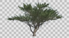 Stock Video Footage of Umbrella Thorn Tree is Swaying at The Wind Green Narrow Tree Leaves Are