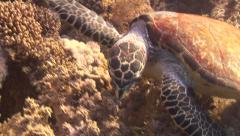 A Hawksbill turtle uses its fins to eat soft coral Stock Footage