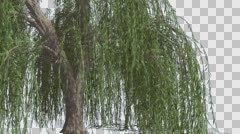 Stock Video Footage of Weeping Willow Hanging Tree Branches Are Swaying Windy Green Narrow Tree Leaves