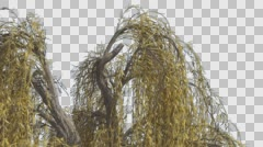Weeping Willow Top of Tree Hanging Tree Branches Swaying Windy Yellow Narrow Stock Footage