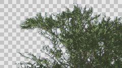 Stock Video Footage of Umbrella Thorn Top of Crown Tree is Swaying Windy Day Green Narrow Tree Leaves