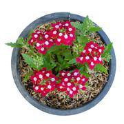 Verbena flower (verbenas or vervains ) in pot isolated on white background Stock Photos