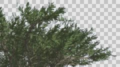 Stock Video Footage of Umbrella Thorn Top of Crown Tree is Swaying Windy Green Narrow Tree Leaves Are