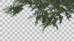 Stock Video Footage of Umbrella Thorn Top of Crown Turned Image Tree is Swaying at The Wind Green