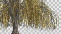 Stock Video Footage of Weeping Willow Hanging Tree Branches Are Swaying Windy Yellow Narrow Tree