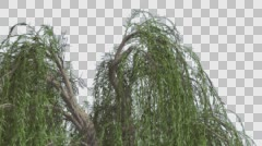 Weeping Willow Top of Tree Hanging Tree Branches Swaying Windy Green Narrow Stock Footage