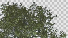 White Oak Top of Tree Crown Tree is Swaying Windy Green Tree Leaves Are Stock Footage