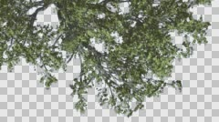 White Oak Branch of a Crown Top Down is Swaying Windy Green Tree Leaves Are Stock Footage