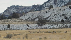 Bighorn Herd With Rams Running Around In Meadow - Wide - stock footage