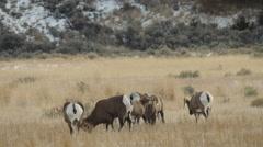 Bighorn Rams in Meadow Follow Ewe - stock footage