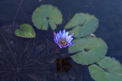 Blue star water lily, Nymphaea nochali - stock photo