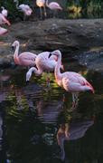 Chilean flamingo, Phoenicopterus chilensis - stock photo