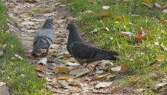 Two pigeons pecking crumbs under fallen leaves and then fly away, slow motion. Stock Footage