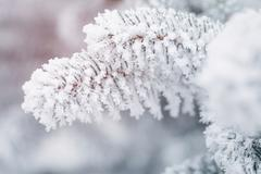 Fir branches covered with frost and snow Stock Photos