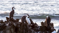 Australian seabirds resting at dusk against rocky ocean coastline (pied Stock Footage