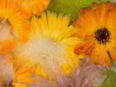 Unusual icy abstraction of marigold flowers Stock Photos