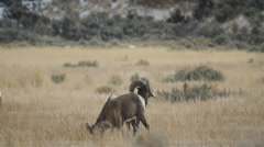 Bighorn Ram Grazes While Other Keeps Watch Stock Footage