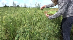 Blond peasant girl pick ripe peas pods in farm plantation. 4K Stock Footage