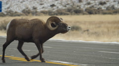 Big Horn Ram Chases Ewes Across a Road Stock Footage