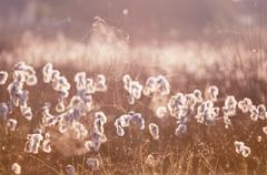 cottograss and spiderweb in morning light - stock photo