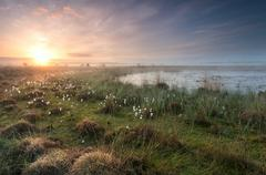 gold sunrise over swamp with cottongrass - stock photo