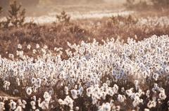 Stock Photo of cotton-grass on marsh at sunrise