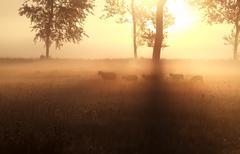 sheep grazing on misty sunrise pasture - stock photo