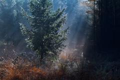 Spruce tree in morning sunbeams Stock Photos