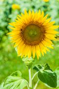 Helianthus (sunflower) - stock photo