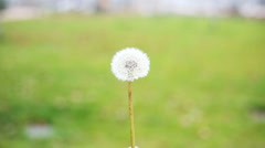 slow motion of a Dandelion blowing in the wind - stock footage