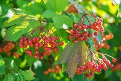 Red viburnum Stock Photos