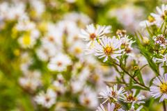 Aster amellus - stock photo