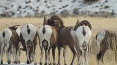 Bighorn Sheep Facing Away and Running Stock Footage