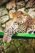 Leopard (Panthera pardus) Kuvituskuvat