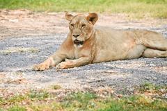 Big lioness Stock Photos