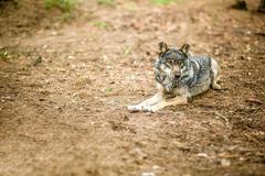 Old gray wolf Kuvituskuvat
