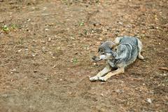 gray wolf lying - stock photo