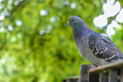 Rock pigeon - stock photo