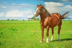 brown thoroughbred horse - stock photo
