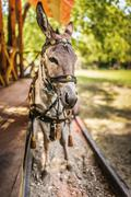Donkey in harness - stock photo