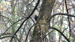 Common blackbird on tree Stock Footage