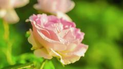 Rose flower blooming in sunset light. Nature. Flora. Stock Footage