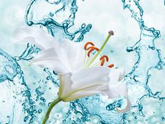 Flower lily on a background of water splash Stock Photos